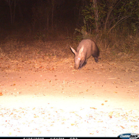 Aardvark, or antbear, are rather common