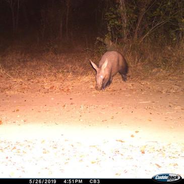 Aardvark, or antbear, are rather common