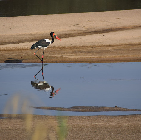 Saddle-billed stork in the shallow dry-s