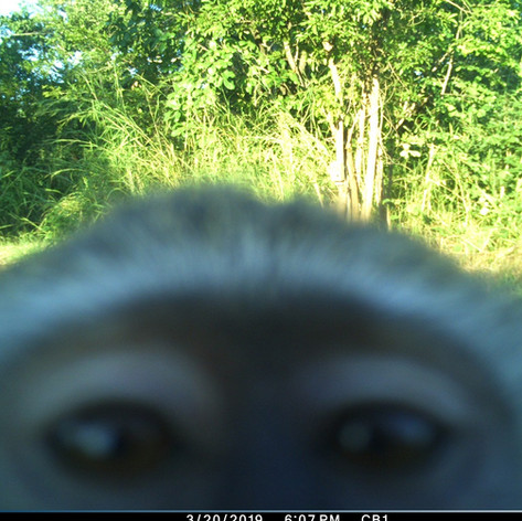 Vervet monkey selfie attempt