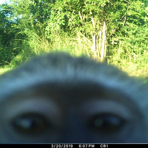 Vervet monkey selfie attempt