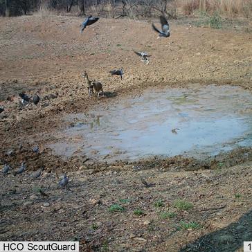 Klipspringer and a flurry of doves