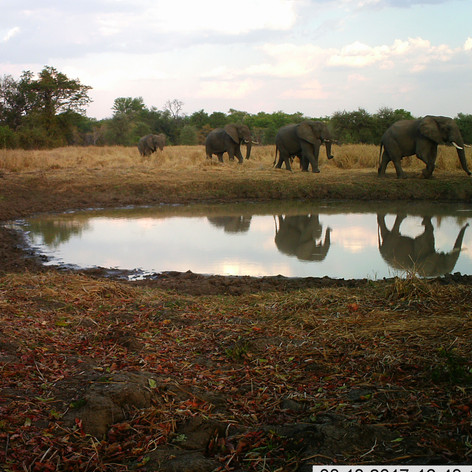Elephants coming in for their evening dr