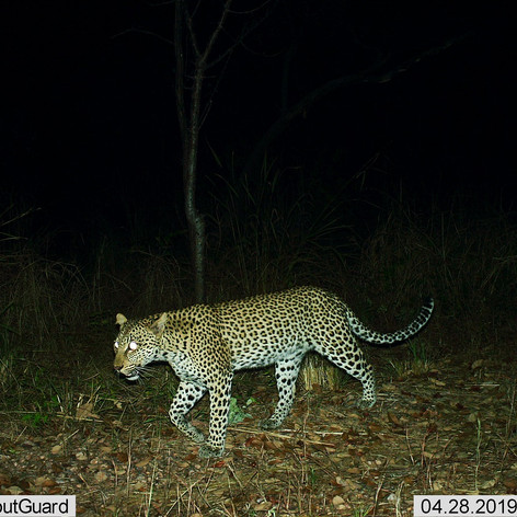 Female leopard that has been followed si