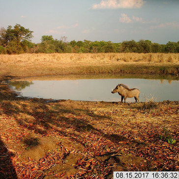 Warthog in the evening light near the ai