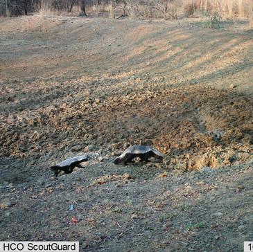 Honey badger mum and juvenile