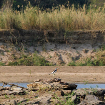 White crowned lapwing(plover)