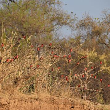 Carmine bee-eaters near camp