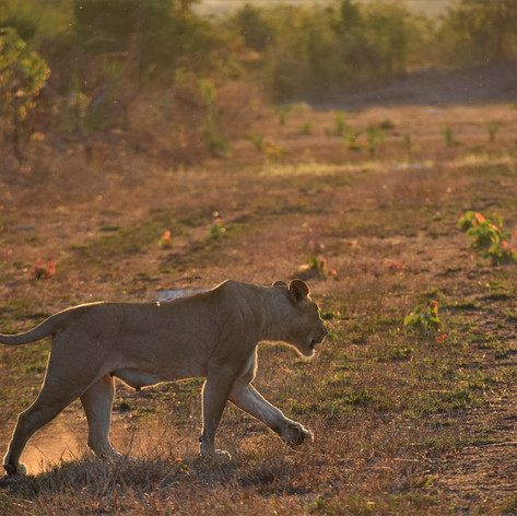 Lioness inspecting the airstrip early on