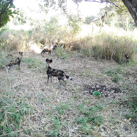 Several wild dog in the Chitope lagoon a