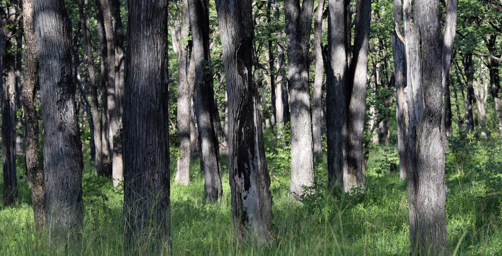 Light in the mopane woodland