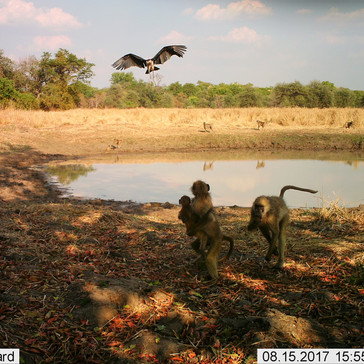 Baboons frightened by the maribou storks