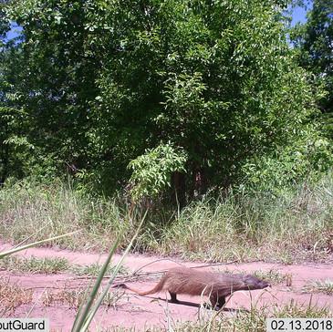 Camp mongoose