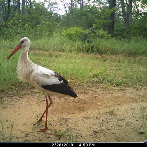 White stork in the wet season - these ar