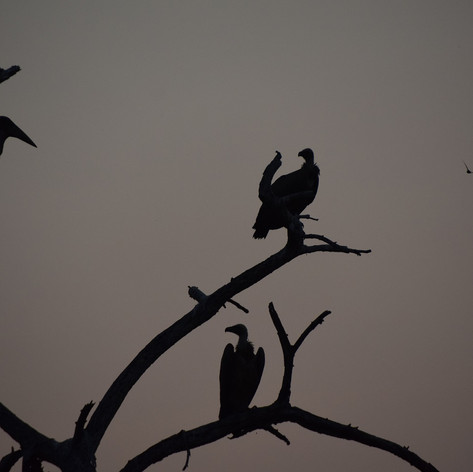 White-backed vultures and maribou stork