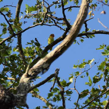 Lillian's lovebird - a mopane woodland s