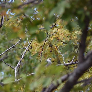 White helmet-shrike in the miombo woodla