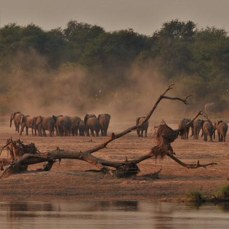 Quintesential Luangwa scene - elephants, dust and the river