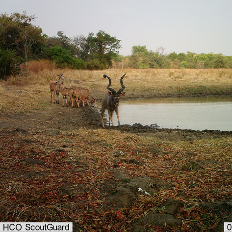 Kudu male with mud on his horns to impre