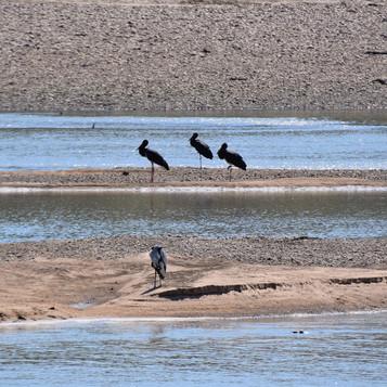 Back storks on a sandbank in front of ca