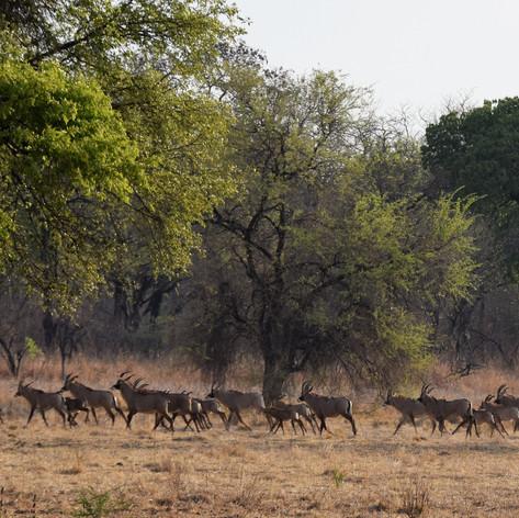 Breeding herd of roan near airstrip