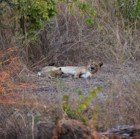 Lioness suckling her 2-month old cub