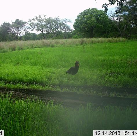 Southern ground hornbill enjoying the we