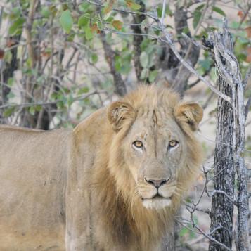 Lion at Kalanshya