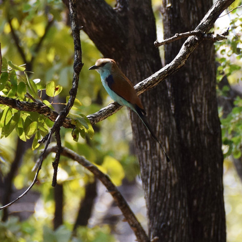 Racket-tailed roller in the hills