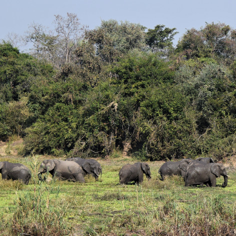 Elephant bull herd at Chitope lagoon