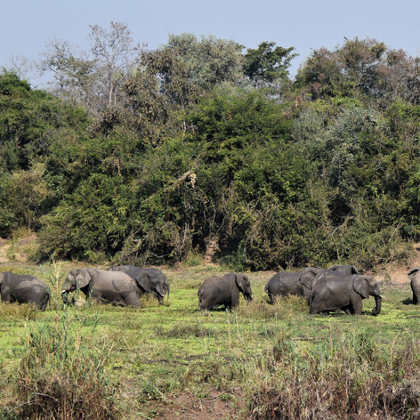 Elephant bull herd at Chitope lagoon