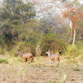 Running kudu