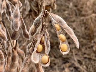 Soja: plantio avança para 46% e ultrapassa média dos últimos cinco anos