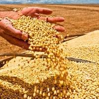 Soja mantém preço no Brasil