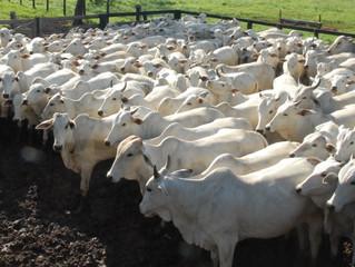 Preços do boi gordo voltam a disparar e arroba sobe até R$ 4