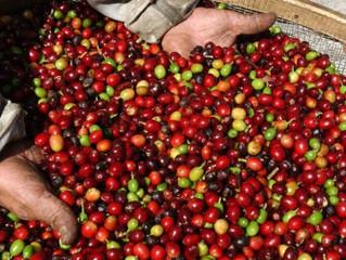 Café: exportadora projeta safra brasileira recorde com 67 milhões de sacas