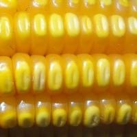 Milho: Volume embarcado caiu na comparação mensal e anual