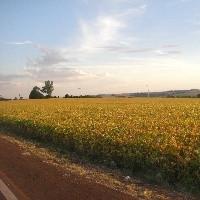 Colheita da soja alcança 14,42% da área em MT