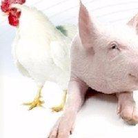 Produção familiar garante liderança da região Sul na avicultura e suinocultura