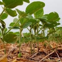 Preços da soja caem no mercado interno