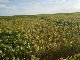 Oeste da Bahia deve deixar de plantar 10% da área prevista de soja nesta safra por falta de chuva