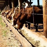 Pressão de baixa continua no mercado do boi gordo