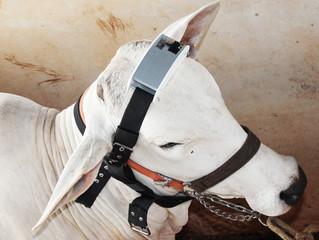 Dispositivo avalia conforto térmico e bem-estar de bovinos