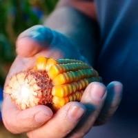 Confira os preços do milho pelo Brasil