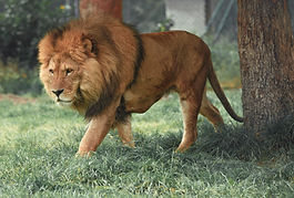 Lion imae.jpg