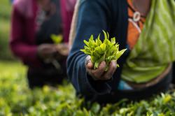 Tea picking, Pedro Estate