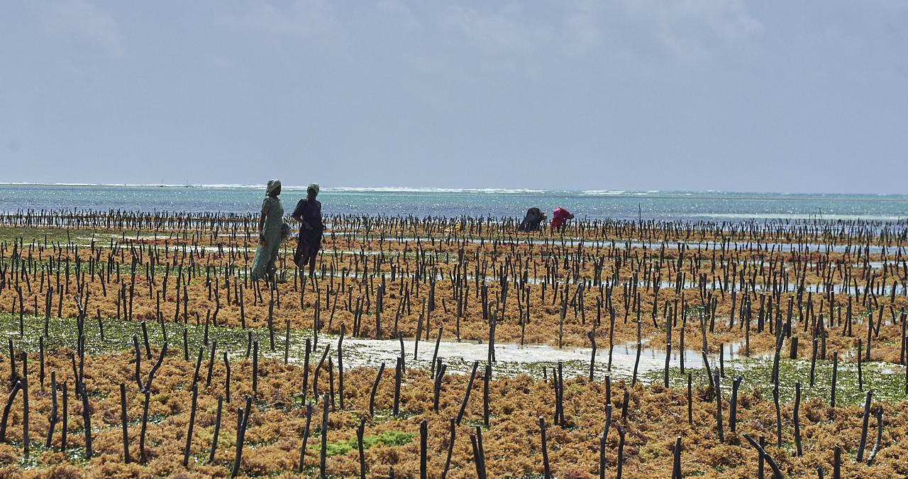 Seaweed farm, Jambiani beach