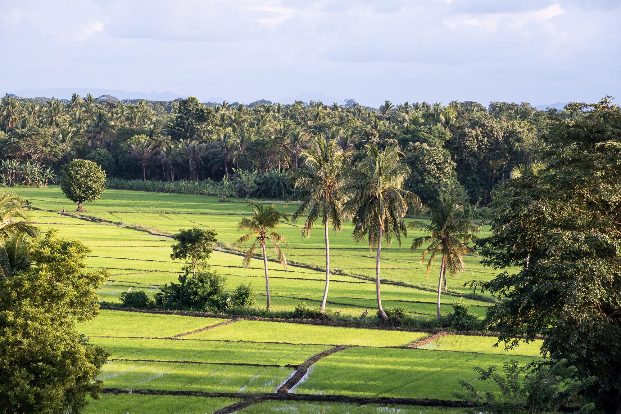 Rice fields, Polonnaruwa