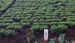 Tea plantation, Kericho highlands