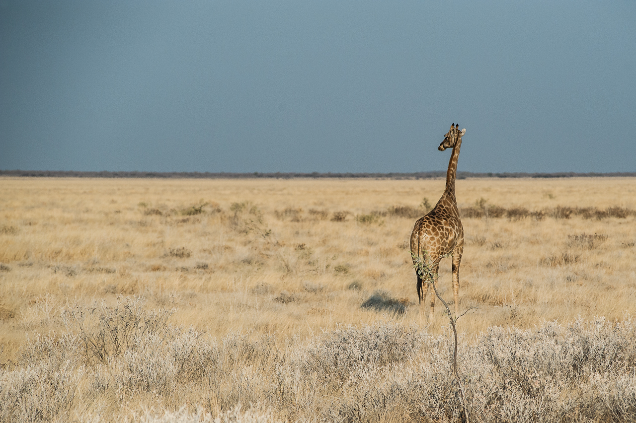 Giraffe, Etosha NP